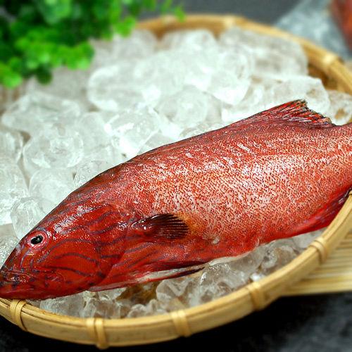 ~築地一番鮮~峇里島野生紅鰷石斑魚 250±50g 條 ~