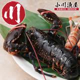 【小川漁屋】加拿大進口活凍波士頓龍蝦(500G~600G/尾)任選