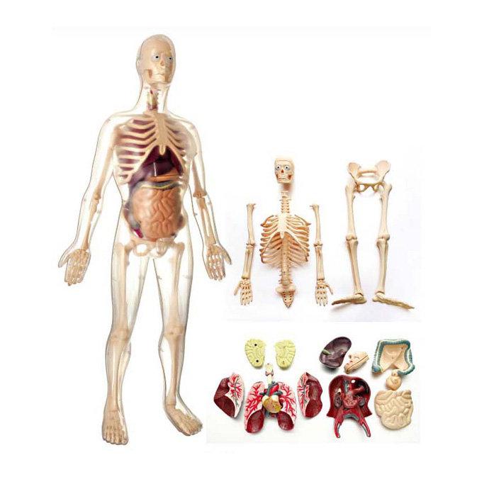 【華森葳兒童教玩具】科學教具系列-男生模型 N6-MK002